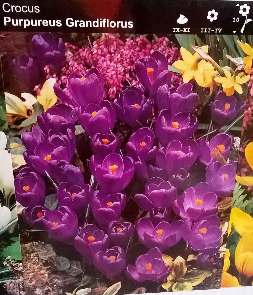 Крокус великоквітковий Purpureus Grandiflorus