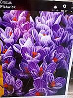 Крокус великоквітковий Pickwick