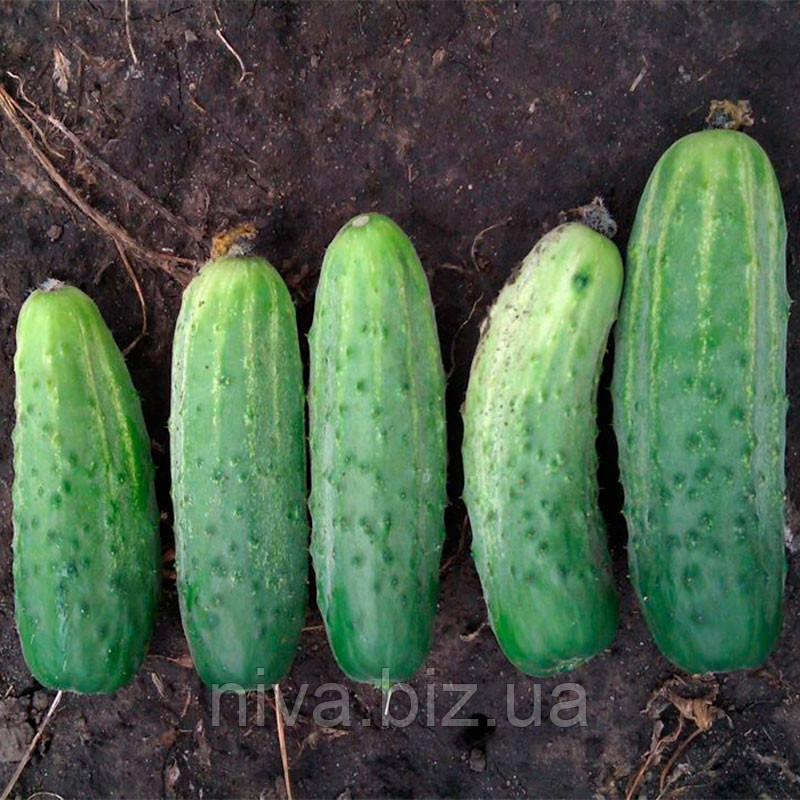 Бланка F1 семена огурца корнишона Semo 1 000 семян