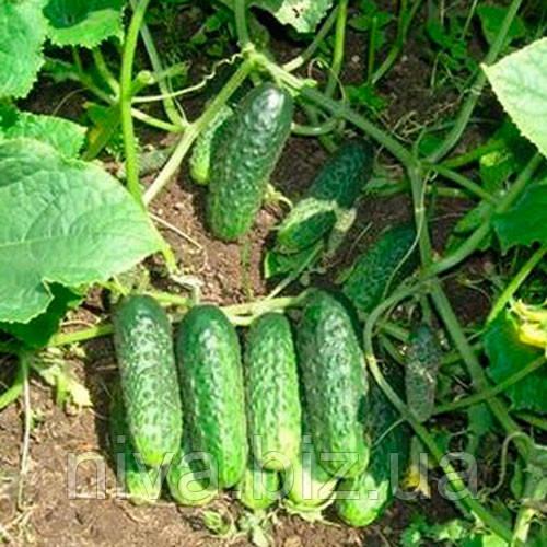 Задор F1 семена огурца партенокарпического Semenaoptom 500 семян
