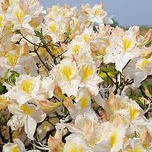 """Азалія листопадна """"Schneegold"""", (С2, h 40), фото 2"""
