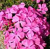 Флокс шиловидный розовый крупноцветковый Эмералд пинк (Emerald Pink)