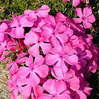 Флокс шиловидный розовый крупноцветковый Эмералд пинк (Emerald Pink), фото 1