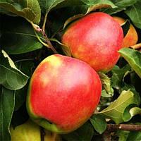 Саджанці яблуні Лігол, фото 1
