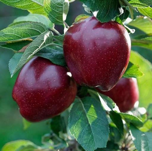 Саджанці яблуні Старкримсон