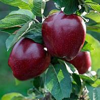 Саджанці яблуні Старкримсон, фото 1