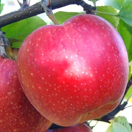 Саджанці яблуні Еліза