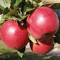 Саджанці яблуні Айдаред, фото 1