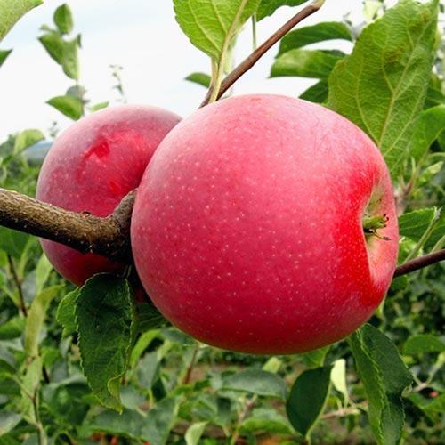 Саджанці яблуні Чемпіон Рено