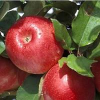 Саджанці яблуні Чемпіон Арно