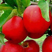 Саджанці яблуні Гала Маст