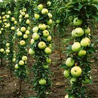 Саджанці колоновидної яблуні Президент