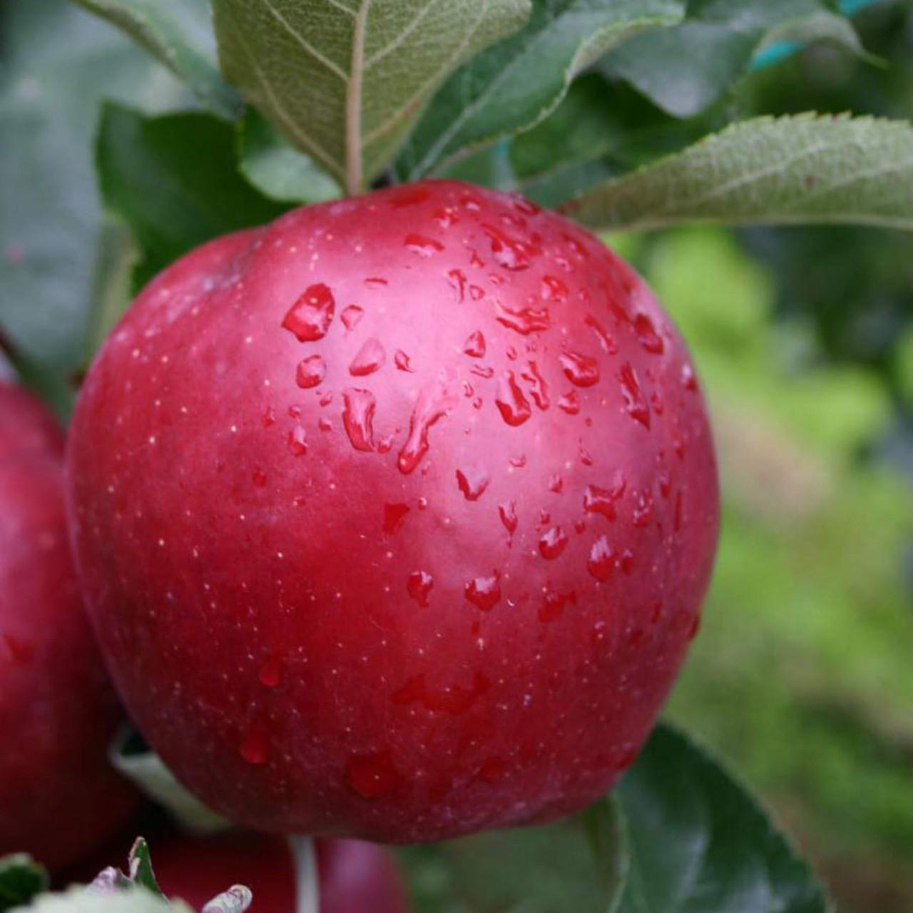 New на Україні! Саджанці яблуні Гала Шніга Шніко Ред (Gala Shnіga Shnіko Red)