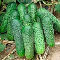 Супремо F1 семена огурца открытый грунт Sakata 1 000 семян