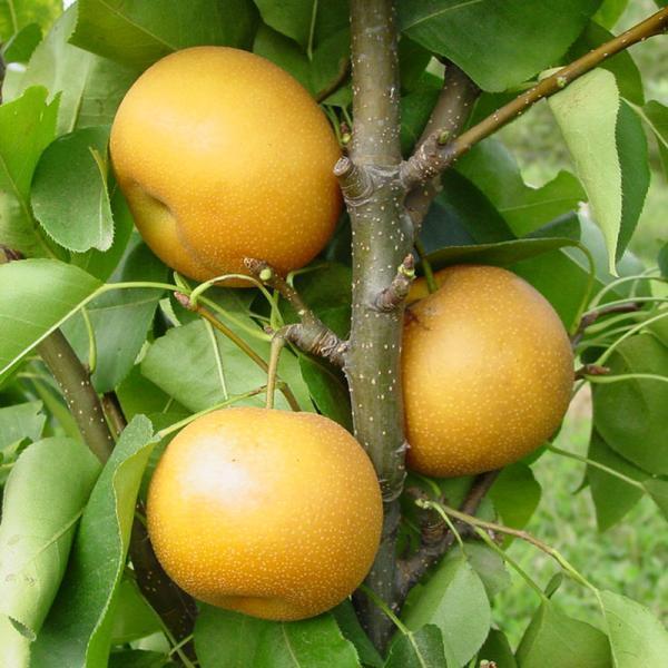 Саджанці груші Хоюро