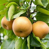 Саджанці груші Секуі