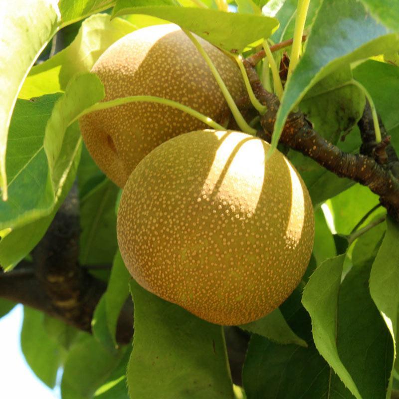 Саджанці груші Хосуі