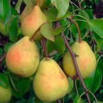 Саджанці груші Скарб