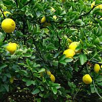 Понциріус Лимон (вуличний)