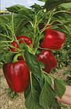 Амарок F1 семена сладкого перца Clause Франция 1000 шт, фото 3
