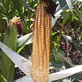 ГІбрид кукурудзи ORILSKY, фото 3