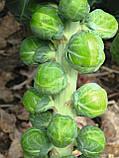 Семена брюссельской капусты Диабло F1 / Diablo F1 - 2500 семян, фото 2