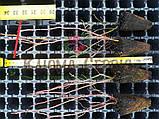 Голубика сорт Блюголд, в кассетах 6 мес h 18-30 см, фото 3