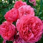 Саженцы плетистой розы Розариум Премиум (Rose Rosarium Premium), фото 2
