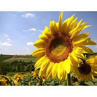 Семена подсолнечника и кукурузы от производителя