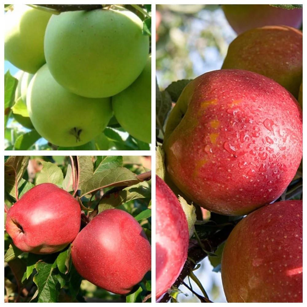 Саджанці Дерево-саду яблуні (Мутса-Глостер-Джонаголд)