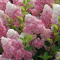 Гортензія волотиста Сандей Фрейз (Hydrangea paniculata 'Sundae Fraise)
