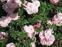 Плетистая роза «Супер Дороти»