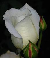 Чайно-гибридная роза «Вирджиния»