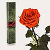 Долгосвежая роза Огненый Янтарь 7 карат (средний стебель)