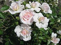 Почвопокровная роза «Лавли Мейян»