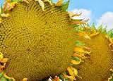 Семена подсолнечника НСХ 6343 под евролайтнинг, 112-118 дней, А-Е, г. Нови Сад ,Сербия / Экстра