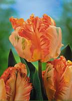 Тюльпан попугаевидный Orange Favorit