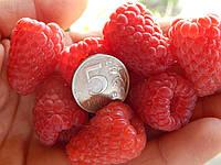 Саженцы  малины  Феномен, фото 1