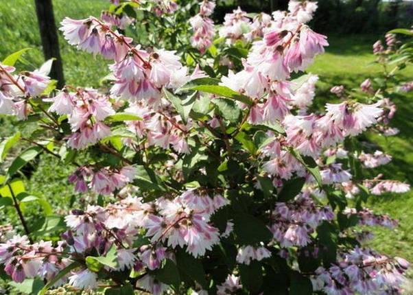 Дейция шершавая 'Codsall Pink',(С5), фото 2