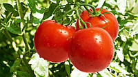 Купить Семена томата Уліссе F1