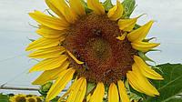 Соняшник Суміко HTS, стійкий до гербіциду експрес, гранстар