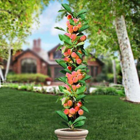 Саженцы Персика Сувенир -  колоновидный, средний, крупноплодный