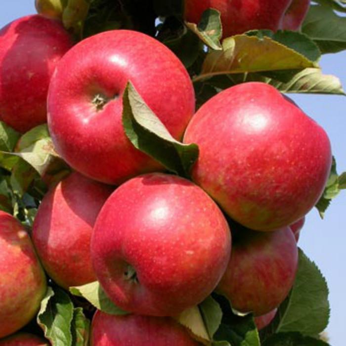 Саженцы Яблони колоновидной Вожак - осенняя, ароматная, урожайная