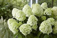 Гортензия метельчатая Скайфол / Hydrangea paniculata `Skyfall` С 2