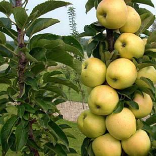 Саджанці колоновидної Яблуні Медок - пізньо-літня, солодка, зимостійка