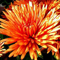 Хризантема корейская Дивына