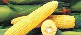 Купить Семена сахарной кукурузы GH 2042 F1