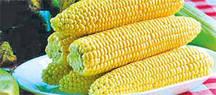 Семена сахарной кукурузы Старшайн F1