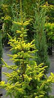 Ель сербская Голден Рейн(Picea Omorika Golden Rain)