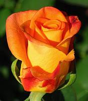 Фото розы «Амбианс»